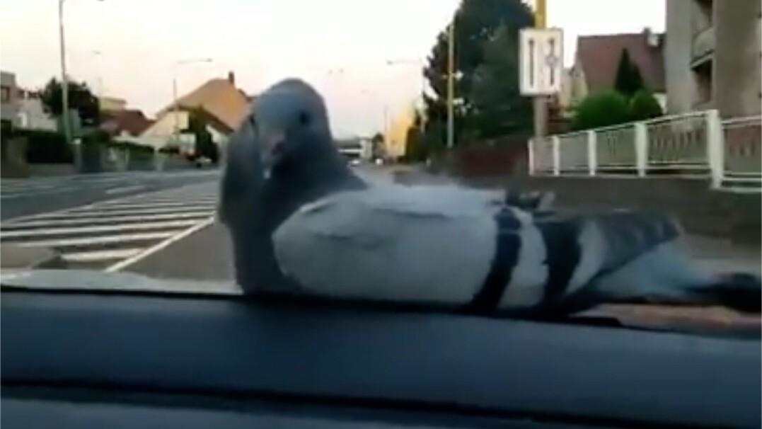 Gołąb, który jeździł autostopem