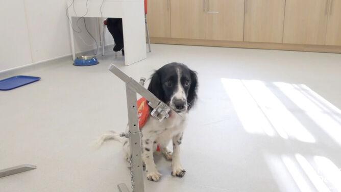 Wywęszyć COVID-19. <br />Na lotniskach mogą pomóc w tym psy