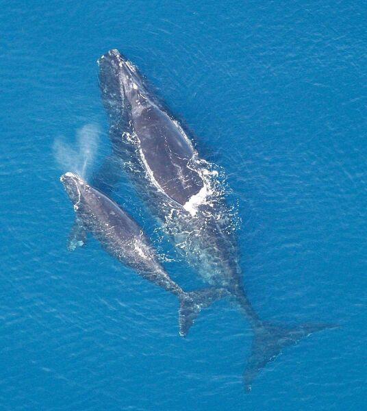 Wieloryb biskajski (wikimedia, Public Domain)